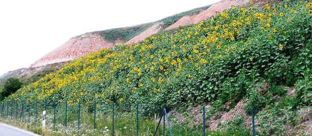 South side of the heap with sunflowers